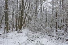 Wald mit Schnee bedeckte Bäume Stockfotografie