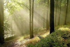 Wald mit Sonnestrahlen durch die Bäume stockbild