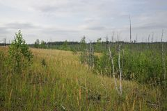 Wald mit trockenen Bäumen, Gras und Marschland Stockfotografie