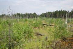 Wald mit trockenen Bäumen, Gras und Marschland Stockbilder