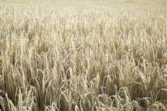 Wald mit Weizen Lizenzfreie Stockfotos