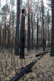 Wald nach defekter gebrannter Kiefer und B?schen des Feuers lizenzfreie stockfotografie