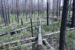 Wald nach Feuer Stockbild