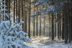 Wald nach Schneefall Stockfotografie