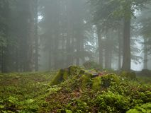 Wald am nebeligen Morgen des Sommers Stockfoto