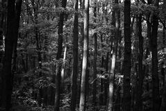 Wald in Schwarzweiss lizenzfreie stockfotografie