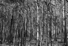 Wald in Schwarzweiss. Lizenzfreies Stockfoto