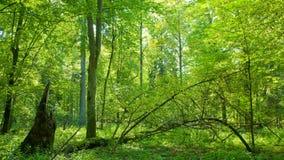 Wald am Sommermittag Stockfotografie