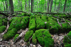 Wald - Torfmoosmoos 3 lizenzfreies stockfoto