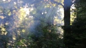 Wald und etwas Rauch zwischen den Bäumen stock video