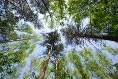 Wald- und Himmelhintergrund Stockbild