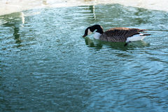 Wald und Wintersonne See vögel Lizenzfreies Stockfoto