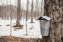 Wald von Ahorn-Safteimern auf Bäumen Lizenzfreie Stockfotos