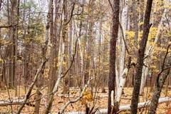 Wald von Bäumen leeren sich von den Blättern Stockbild