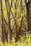 Wald von Bäumen leeren sich von den Blättern Lizenzfreies Stockbild