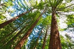Wald von Baum-Farnen und von riesigen Rothölzern in Whakarewarewa-Wald nahe Rotorua lizenzfreies stockbild