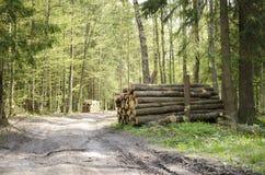 Wald von Bialowieza Stockfoto