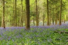 Wald von Glockenblumen stockfotos
