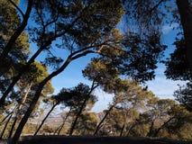 Wald von grünen Mittelmeerkiefern Stockfotos