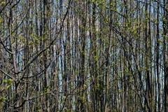 Wald von jungen Bäumen im Frühjahr lizenzfreie stockfotografie