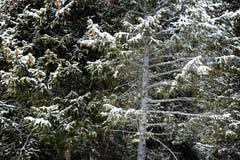 Wald von Kiefern beim Winter Snowy-Sturm-Schnee-Flocken-Fallen Stockbilder