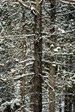 Wald von Kiefern beim Winter Snowy-Sturm-Schnee-Flocken-Fallen Stockfoto