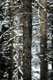 Wald von Kiefern beim Winter Snowy-Sturm-Schnee-Flocken-Fallen Stockfotos