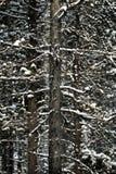 Wald von Kiefern beim Winter Snowy-Sturm-Schnee-Flocken-Fallen Lizenzfreie Stockfotografie