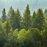Wald von Kiefern im Regen Stockfotos