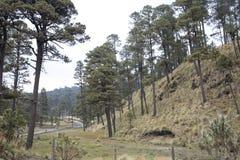 Wald von Mexiko mit einzigartigen Spuren und Bäumen Lizenzfreies Stockbild