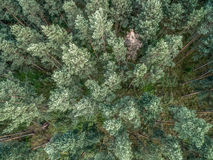 Forest of Peine treues from above, aerial view, Shot by a Drone Stock Image