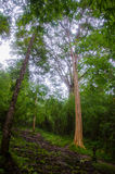 Wald von Phu-kradueng Stockbild