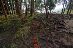 Wald von San Miguel, Azoren Lizenzfreie Stockbilder