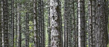 Wald von sehr hoch und außerordentlich parallele Lärchenkiefern Stockfotos
