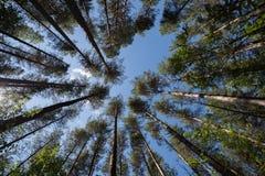 Wald von unterhalb Stockbild