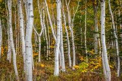 Wald von Weißbuch-Suppengrün-Stämmen Stockfotos