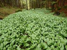 Wald, wilder Knoblauch (Lauch ursinum) Lizenzfreie Stockfotografie
