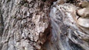 Waldameisen laufen gelassen entlang die Barke eines Baums stock footage