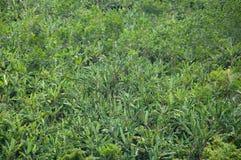 Waldbananenbaum in der Natur Stockbilder