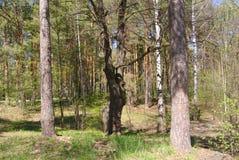 Waldbaumgrausigkeitsgeschichte stockbild