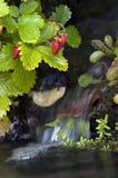 Waldbeere Stockfoto