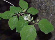 Waldbeerenreblichtlandwirtschaftsefeusommertraubengartenherbstschönheits-Grünblatt verlässt Naturbetriebsbaumast-Blume foliag Stockfoto