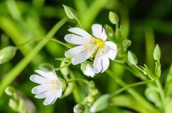 Waldbetriebssternförmige Blumen im Frühjahr mit weißen Blumen Stockfoto