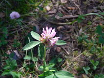Waldblume im Sonnenlicht Stockfotografie