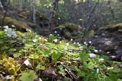 Waldboden mit allgemeinem hölzernem sorrell Oxalis-acetosella Stockfotos