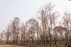 Waldbrände mit gebrannten Bäumen Stockfotos