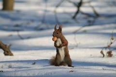 Waldeichhörnchen Stockbilder