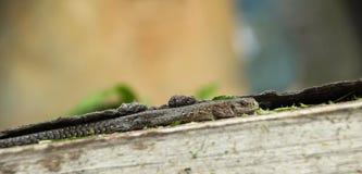 Waldeidechse (Zootoca vivipara). Brown lizard basking in the sun royalty free stock images