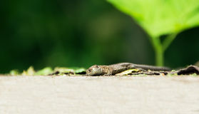 Waldeidechse (Zootoca vivipara). Brown lizard on wooden plate stock photos