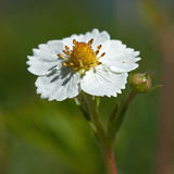 Walderdbeereblume, Fragaria vesca Lizenzfreie Stockbilder